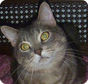 Domestic Shorthair Cat for adoption in Hamburg, New York - Harold