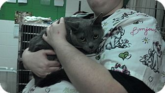 Russian Blue Cat for adoption in Elgin, Illinois - EVE