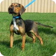 Coonhound Mix Dog for adoption in Columbus, Nebraska - Dixie