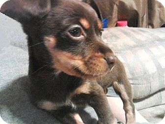 Rat Terrier Mix Puppy for adoption in Jarrell, Texas - Doc