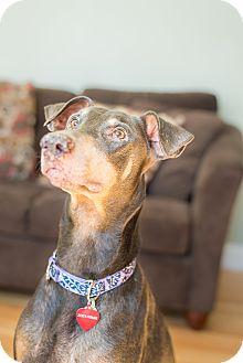 Doberman Pinscher Dog for adoption in Sinking Spring, Pennsylvania - Nicki