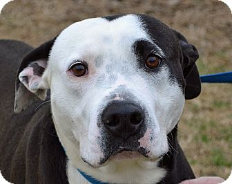 Pit Bull Terrier Mix Dog for adoption in Searcy, Arkansas - Levi