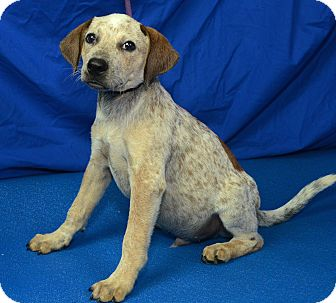 Cattle Dog Mix Puppy for adoption in Groton, Massachusetts - Retro