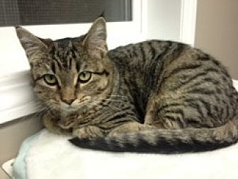 Domestic Shorthair Cat for adoption in Creston, British Columbia - Sweetie