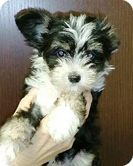 Maltese/Poodle (Miniature) Mix Puppy for adoption in Oswego, Illinois - I'M ADOPTED Pistachio Lauffenb