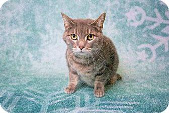 Domestic Shorthair Cat for adoption in Brooklyn, New York - Tabitha