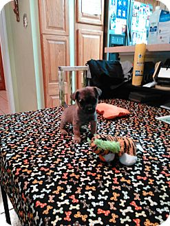 Chihuahua Puppy for adoption in San Antonio, Texas - Harpo