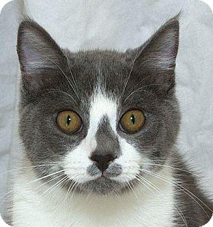 Domestic Shorthair Kitten for adoption in Sacramento, California - Peter N