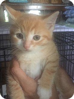 American Shorthair Kitten for adoption in Barrington, New Jersey - Poppy - PENDING