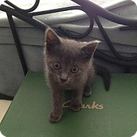 Adopt A Pet :: Tweety - SnuggleKItten 50.00 - Rochester, NY