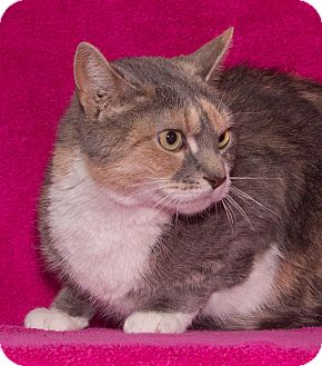 Domestic Shorthair Cat for adoption in Elmwood Park, New Jersey - Mariah