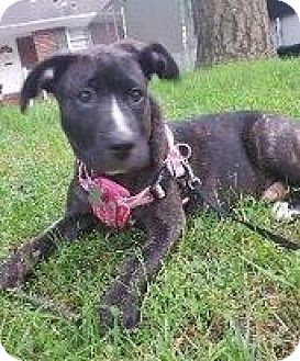 Pit Bull Terrier Mix Puppy for adoption in Hampton, Virginia - ZOE