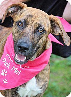 Plott Hound/Pointer Mix Dog for adoption in Fort Atkinson, Wisconsin - Abby