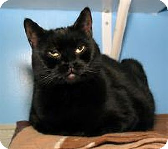 Domestic Mediumhair Cat for adoption in Milford, Massachusetts - Buggy