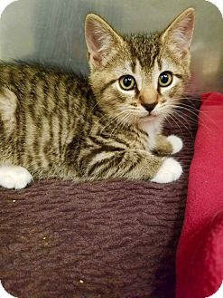Domestic Shorthair Kitten for adoption in Marlton, New Jersey - Spider