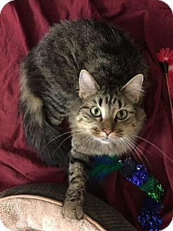 Domestic Mediumhair Cat for adoption in St. Louis, Missouri - Theodosia