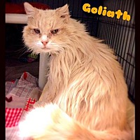 Domestic Longhair Cat for adoption in Hartford City, Indiana - Goliath