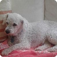 Adopt A Pet :: Chacha - Kirkland, QC