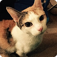 Domestic Shorthair Cat for adoption in Jeffersonville, Indiana - Jessica