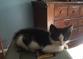 Domestic Shorthair Kitten for adoption in Smyrna, Georgia - Huey Lewis