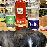 Adopt A Pet :: Olive - Wyoming, MI