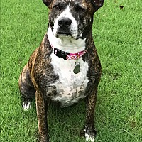 American Pit Bull Terrier/Mixed Breed (Large) Mix Dog for adoption in Chattanooga, Tennessee - Abbie