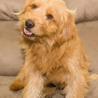 Adopt A Pet :: Buckey (Buster Brown) - Santa Fe, TX