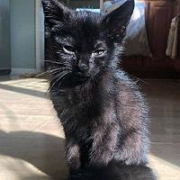 Adopt A Pet :: Kittens! - Blue Bell, PA