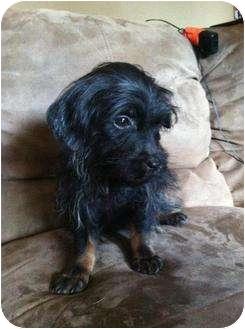 Dachshund/Schnauzer (Miniature) Mix Puppy for adoption in Astoria, New York - Thresh