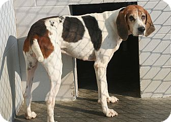 Treeing Walker Coonhound Mix Dog for adoption in Florence, Indiana - Pipsy