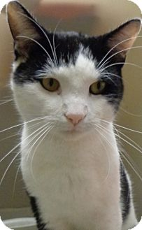 Domestic Shorthair Cat for adoption in Charles City, Iowa - Benny