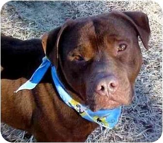 Labrador Retriever/Terrier (Unknown Type, Medium) Mix Dog for adoption in Huntington, New York - Emmett