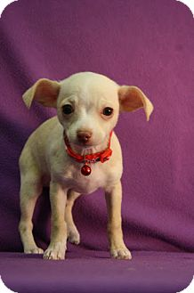 Chihuahua Mix Puppy for adoption in Broomfield, Colorado - Pinot
