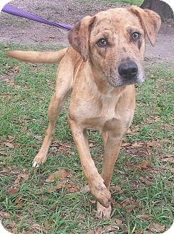 Australian Shepherd/Labrador Retriever Mix Dog for adoption in Ocala, Florida - Cece