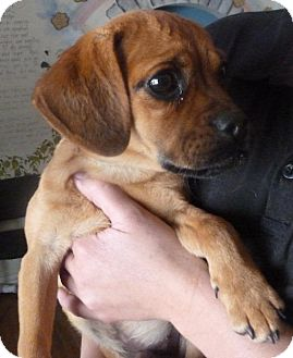 Pug/Beagle Mix Puppy for adoption in Colorado Springs, Colorado - Bam-Bam