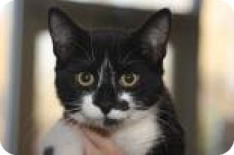 Domestic Shorthair Cat for adoption in Mt. Pleasant, Michigan - Oreo