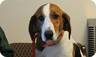Hound (Unknown Type) Mix Dog for adoption in Windsor, Virginia - Belle
