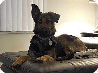 German Shepherd Dog Dog for adoption in Dayton, Ohio - Uli