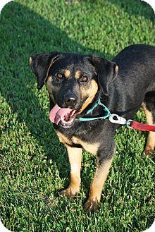 Rottweiler Mix Dog for adoption in Berea, Ohio - Banjo