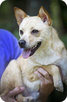 Australian Cattle Dog/Corgi Mix Dog for adoption in Groton, Massachusetts - Sparky