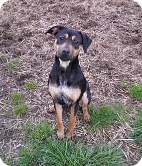 Rottweiler Mix Dog for adoption in Reedsport, Oregon - Sofie