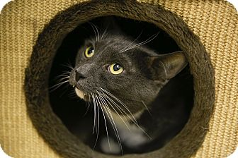 Domestic Shorthair Cat for adoption in Germantown, Ohio - The Count