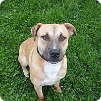 Adopt A Pet :: Rose - Westminster, MD