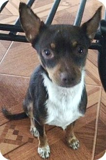 Chihuahua/Rat Terrier Mix Dog for adoption in Orlando, Florida - Brady