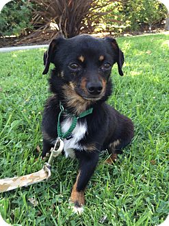 Chihuahua Mix Dog for adoption in Mission Viejo, California - Pickle