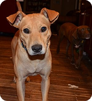 Labrador Retriever/Terrier (Unknown Type, Medium) Mix Dog for adoption in Bedminster, New Jersey - Ryder
