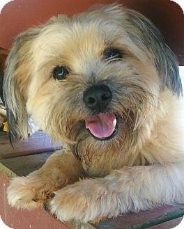 Lhasa Apso/Shih Tzu Mix Dog for adoption in Atlanta, Georgia - Geoffrey