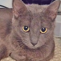Domestic Shorthair Cat for adoption in Youngsville, North Carolina - Shenandoah