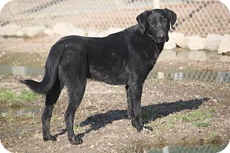 Labrador Retriever/Flat-Coated Retriever Mix Dog for adoption in Mahwah, New Jersey - Thriller-ADOPTED!