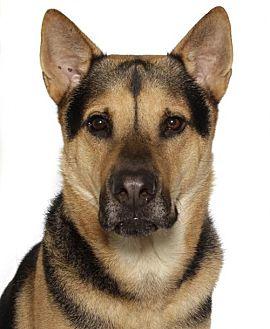 German Shepherd Dog Mix Dog for adoption in Fort Lauderdale, Florida - sam
